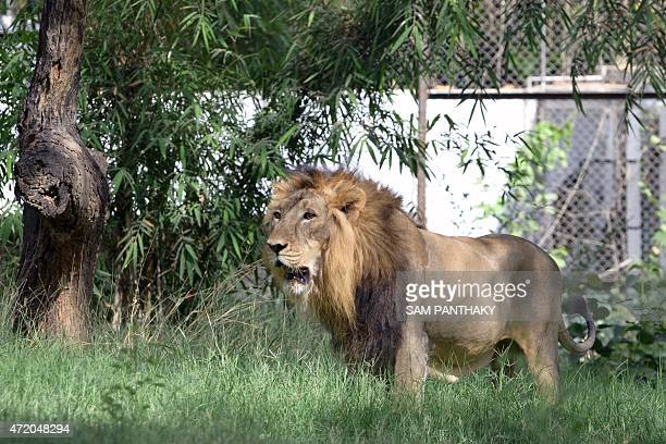 An eightyearold asiatic lion looks on in his enclosure at the Kamla Nehru Zoological Gardens in Ahmedabad on May 3 2015 India on May 2 began a...