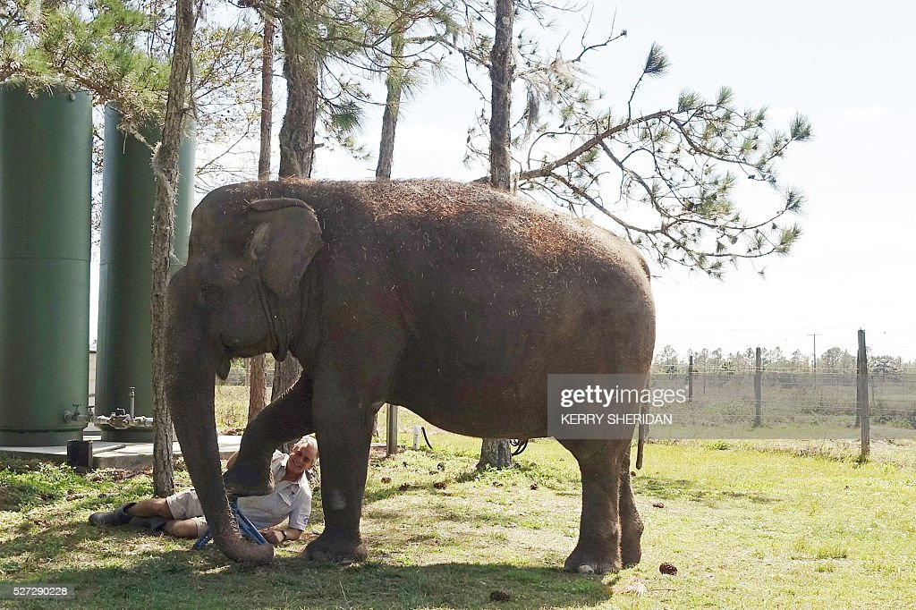 An elderly elephant named Mysore gets a pedicure at the Ringling Bros. and Barnum and Bailey Center for Elephant Conservation in Polk City, Florida on March 8, 2016. / AFP / Kerry SHERIDAN / TO GO WITH AFP STORY BY KERRY SHERIDAN-'Circus elephants' retirement home promises pampered life '