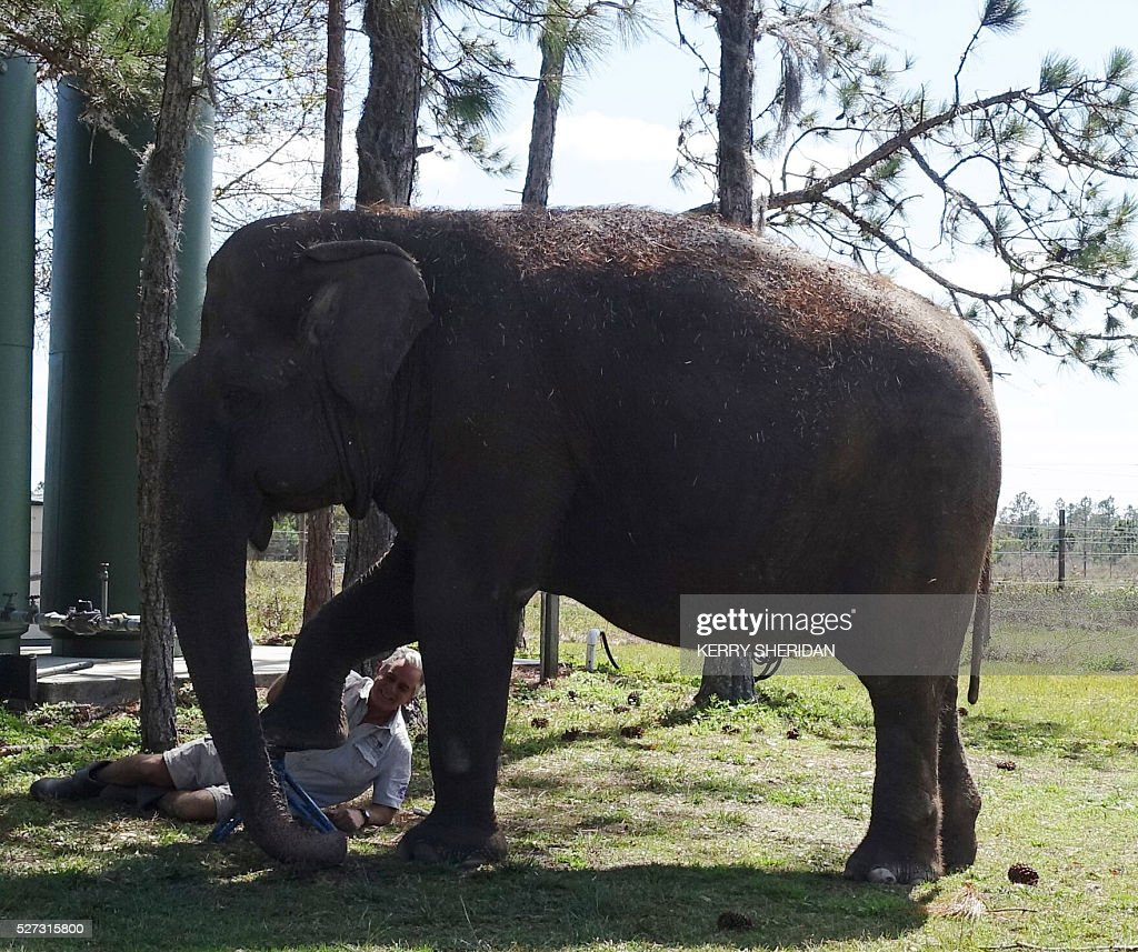 An elderly elephant named Mysore receives a pedicure at the Ringling Bros. and Barnum and Bailey Center for Elephant Conservation in Polk City, Florida on March 8, 2016. / AFP / Kerry SHERIDAN / TO GO WITH AFP STORY BY KERRY SHERIDAN-'Circus elephants' retirement home promises pampered life '