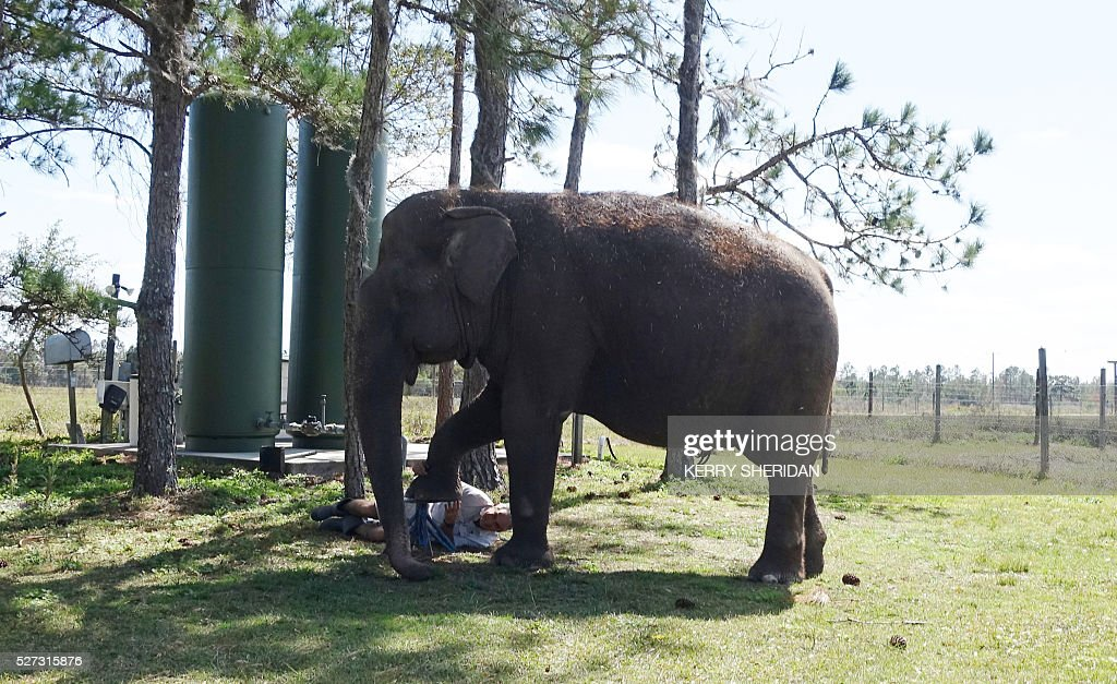An elderly elephant named Mysore receives a pedicure at the Ringling Bros. and Barnum and Bailey Center for Elephant Conservation in Polk City, Florida on March 8, 2016. When Mysore performed in the Ringling Brothers' traveling circus, she waltzed, she hooked her trunk onto another elephant's tail, and she stood on her hind legs in a line for a trick known as the long mount. Now at the age of about 70 -- and one of the oldest Asian elephants in the world -- Mysore is retired at the circus's refuge in central Florida, where she gets weekly pedicures, daily baths, naps on a giant dirt pile, eats ground-up hay and more than six loaves of wheat bread a day. / AFP / Kerry SHERIDAN / TO GO WITH AFP STORY BY KERRY SHERIDAN-'Circus elephants' retirement home promises pampered life '