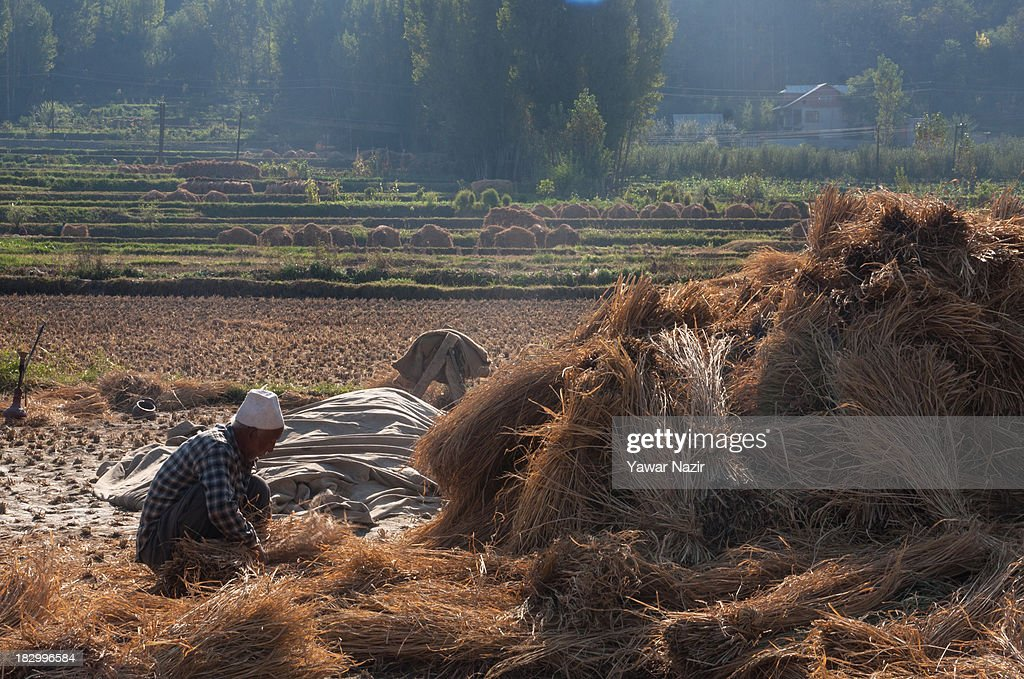 An elderly farmer ties lumps of grass to make hay bales in a paddy field during harvesting season October 03, 2013 in Sriinagar, the summer capital of Indian administered Kashmir, India. Paddy production has gone down in Kashmir during the recent years largely due to unplanned and rapid urbanisation, with the area under rice crop cultivation coming down from 122 hectares in 2010-11 to 112 hectares in 2013, according to an economic survey to the state government.