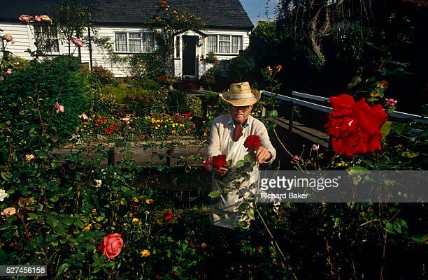An elderly gentleman prunes his precious crop of fresh red roses from his front garden that sits astride the small River Wandle at Carshalton south...