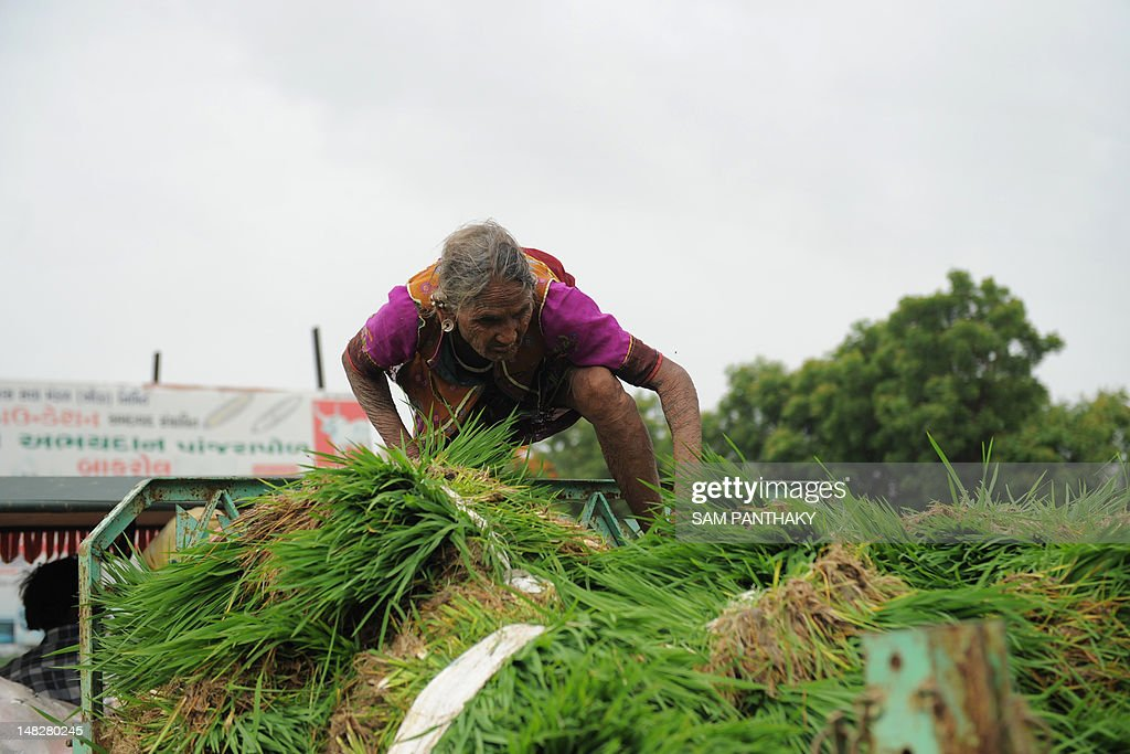 An elderly Indian farmer climbs onboard a tractor trailer as she and others head to the fields to plant rice paddy near Narimanpura village, some 30 kms from Ahmedabad, on July 13, 2012. Annual monsoon rains, crucial to India's economy, covered the country on July 11 but remained 23 percent below average, sparking fears of their impact on two cereal-producing states. The pounding rains that sweep across the continent from June to September are dubbed the 'economic lifeline' of India, which is one of the world's leading producers of rice, sugar, wheat and cotton. AFP PHOTO / Sam PANTHAKY