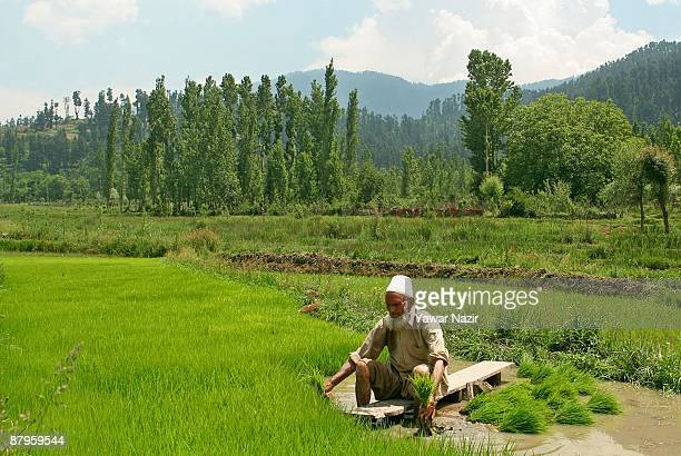 An elderly Kashmiri farmer sits ankledeep in muddy rice paddy transplanting rice saplings during the sowing season on May 25 2009 in Baramulla 65 km...