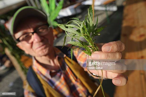 An elderly man holds up leaves from a marijuana plant at the annual Hemp Parade on August 9 2014 in Berlin Germany Supporters of cannabis...