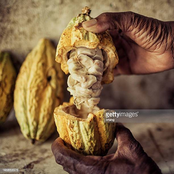 An elderly man reveals fresh cocoa beans in their pods