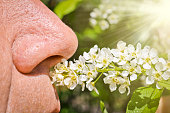 An elderly man sniffs blooming bird cherry and does not experience allergies. A person's nose sniffs a sprig of cherry flowers. Spring health problems.