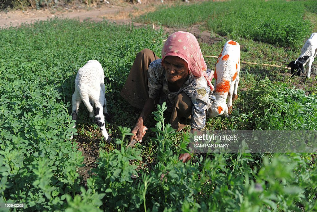 An elderly member of the Self Employed Women's Association (SEWA) harvests vegetables while accompanied by lambs at a farm in Sedla village, from 90kms, on March 18, 2013. Cherie Blair, the wife of former British prime minister Tony Blair, together with Vodafone Foundation director Laura Turkington and SEWA director Reema Nanavaty, are scheduled to visit the RUDI - SEWA centre in Dhragandhra on March 19. AFP PHOTO / Sam PANTHAKY