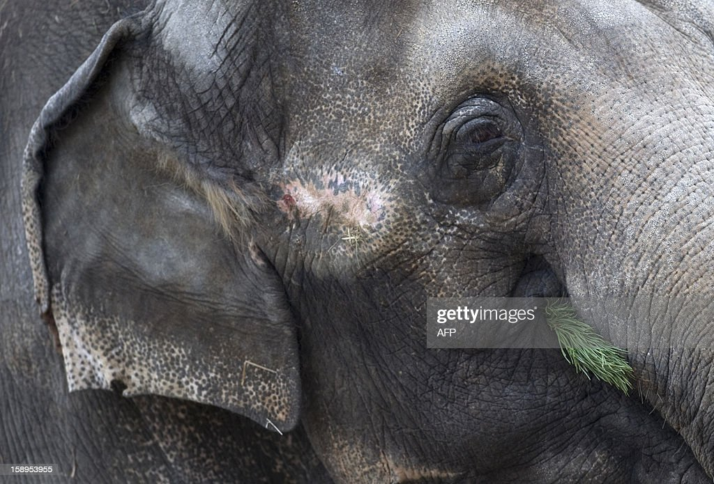 An elelphant enjoys a Christmas tree on January 4, 2013 at the Zoologischer Garten zoo in Berlin. Traditionally, elephants at the Berlin zoo are given the trees that were left over from Christmas tree sale during the first days of January.