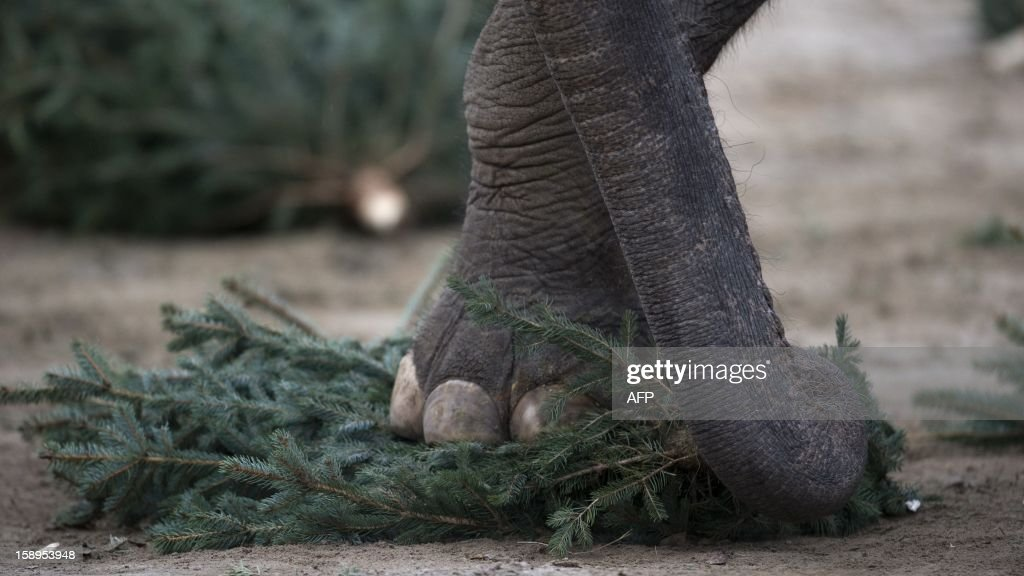 An elelphant plays with a Christmas tree on January 4, 2013 at the Zoologischer Garten zoo in Berlin. Traditionally, elephants at the Berlin zoo are given the trees that were left over from Christmas tree sale during the first days of January. AFP PHOTO / BARBARA SAX
