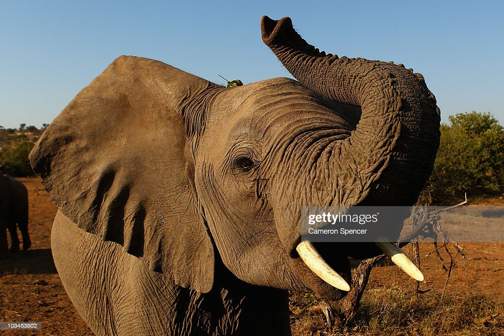 An elephant at the Mashatu game reserve on July 26, 2010 in Mapungubwe, Botswana. Mashatu is a 46,000 hectare reserve located in Eastern Botswana where the Shashe river and Limpopo river meet.
