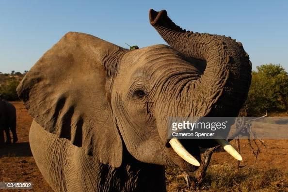 An elephant at the Mashatu game reserve on July 26 2010 in Mapungubwe Botswana Mashatu is a 46000 hectare reserve located in Eastern Botswana where...