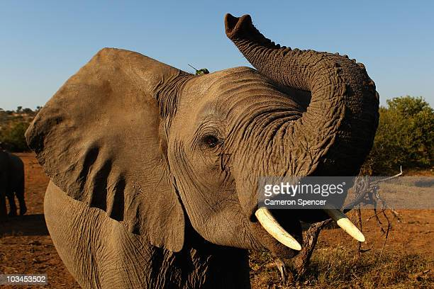 An elephant at the Mashatu game reserve on July 26 2010 in Mapungubwe Botswana Mashatu is a 46000 hectare reserve located in Eastern Botswana where...