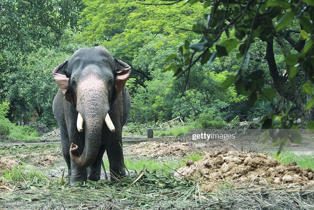 An elephant between trees : Stock Photo