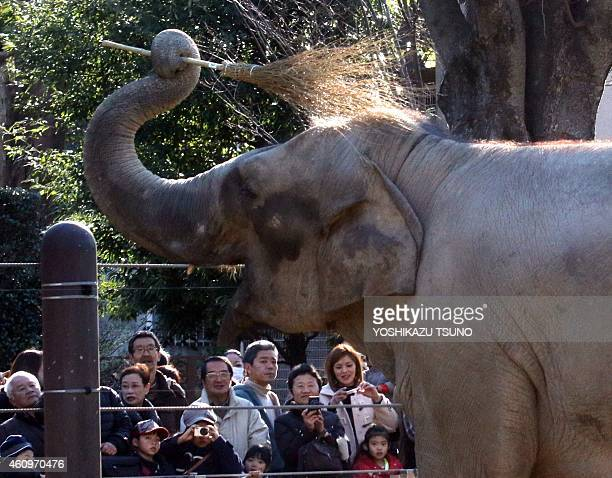 An elephant cleans himself with a broom before receiving a banana from a zookeeper for otoshidama or New Year's gift at the Ueno zoological garden in...