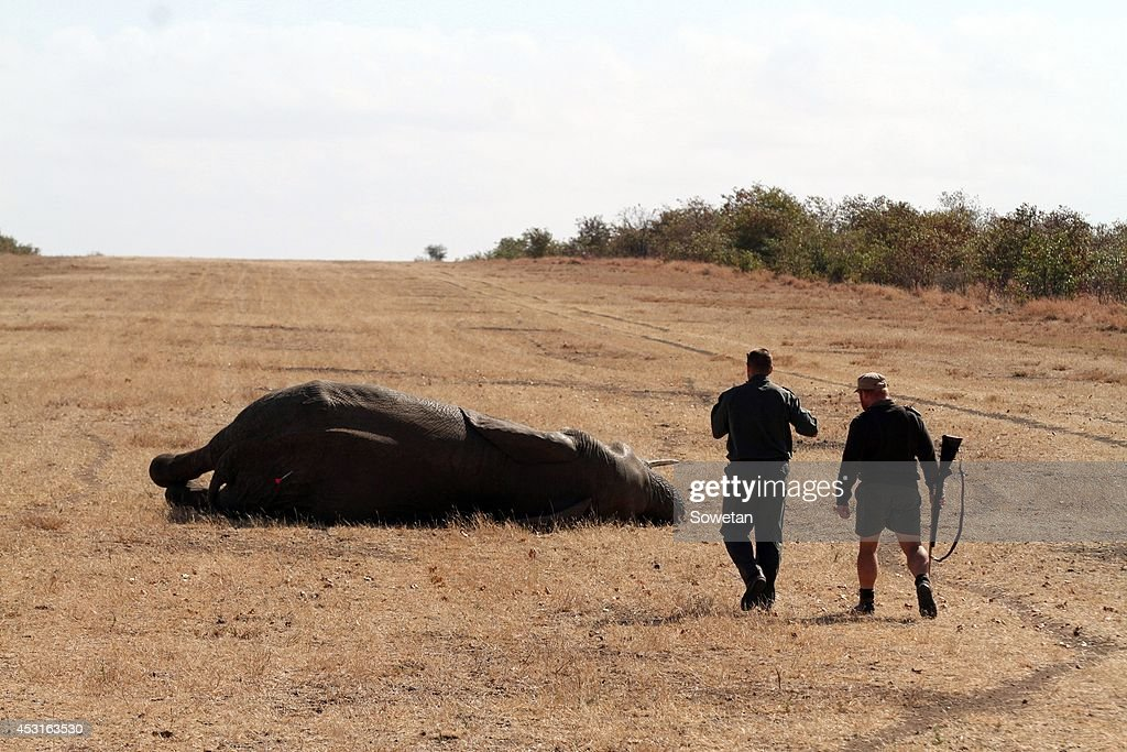 An elephant collapses after being darted from a helicopter at the Kruger National Park on July 30, 2014 in Kruger Park, South Africa. Rangers said they were preparing to face a new onslaught against elephants. This statement was released after a bull elephant was found shot dead with its tusks hacked off.