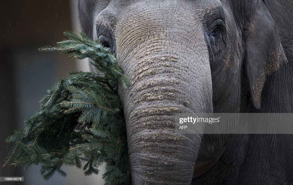 An elephant enjoys a Christmas tree on January 4, 2013 at the Zoologischer Garten zoo in Berlin. Traditionally, elephants at the Berlin zoo are given for food the trees that were left over from Christmas tree sale during the first days of January.
