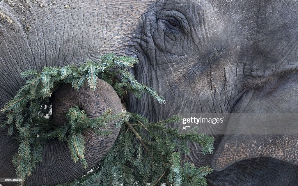 An elephant enjoys a Christmas tree on January 4, 2013 at the Zoologischer Garten zoo in Berlin. Traditionally, elephants at the Berlin zoo are given for food the trees that were left over from Christmas tree sale during the first days of January. AFP PHOTO / BARBARA SAX