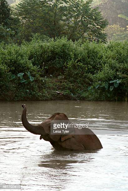 An elephant going for a swim at the Anantara Golden Triangle Resort and Spa The resort which maintains a stable of elephants offers tourists a unique...