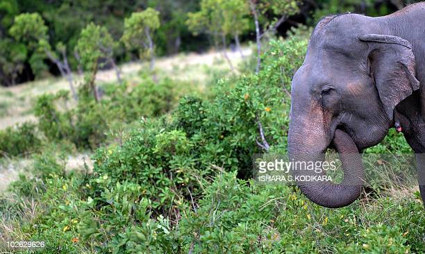 An elephant grazes near a motorway near a willdlife preservation in the eastern seaport town of Trincomalee on July 5 2010 Asian elephants which live...