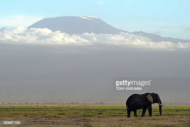 An elephant grazes on October 7 2013 at Amboseli National Park approximately 220 kms southeast of Nairobi Kenyan and Tanzanian governments started on...