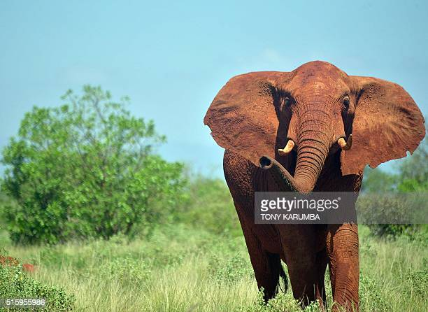 An elephant is pictured on March 16 2016 at the Tsavo east national park of capital Nairobi Ten elephants ranging near the high speed standard gauge...