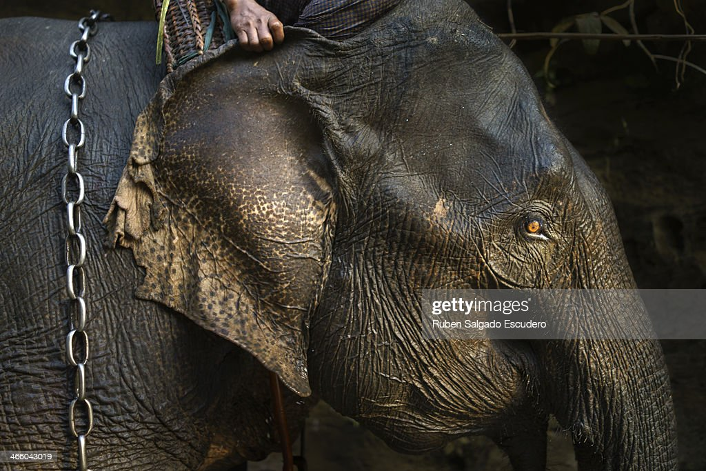 An elephant is seen in the morning after having been washed by his 'oozie' (elephant caretaker) on January 28, 2014 in Maing Hint Sal elephant logging camp, Myanmar. This government-owned camp holding 62 elephants and about 330 local villagers is one of many which are under threat due to upcoming changes in laws that reflect the steady depletion of forests in the country. The local government blames illegal loggers for this, while others are under the opinion that the government carelessly sold land for construction and development purposes to the wrong people. Either way, elephant logging which has been a source of income for many in this country for generations could have its days numbered which would affect many local people's livelihoods.