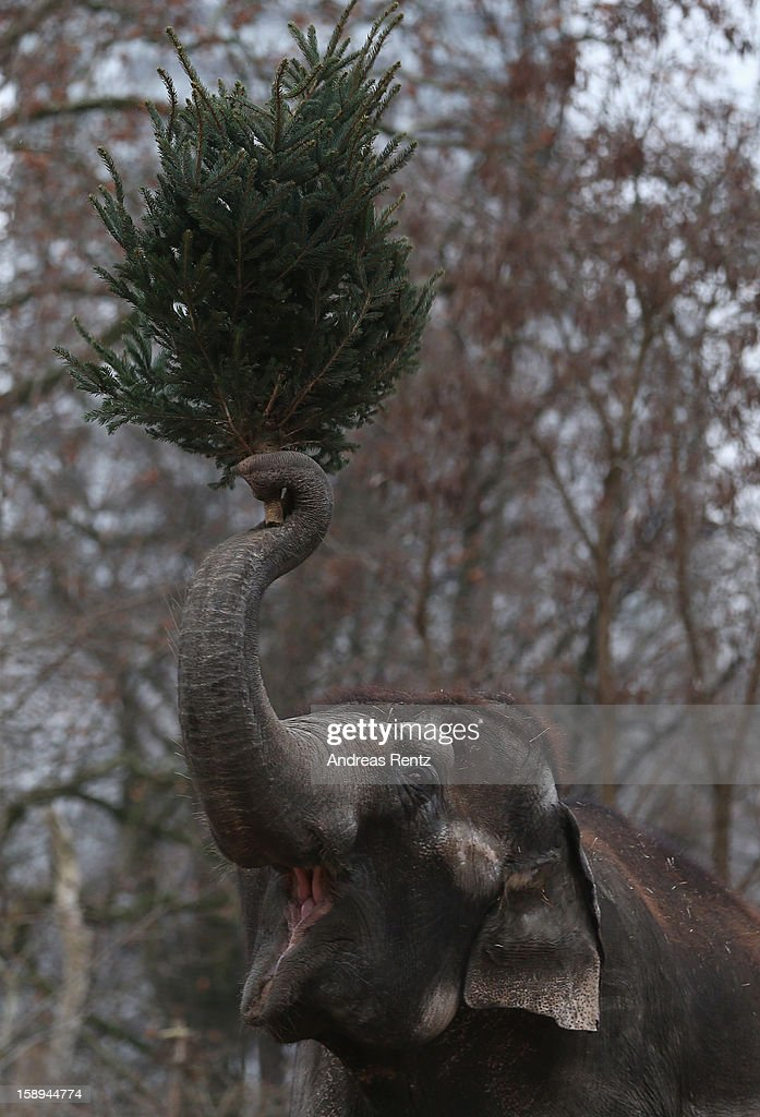 An Elephant munchs on Christmas trees in her enclosure at Berlin's Zoologischer Garten zoo on January 4, 2013 in Berlin, Germany. Traditionally the animals are given leftover Christmas trees in the first week of the New Year
