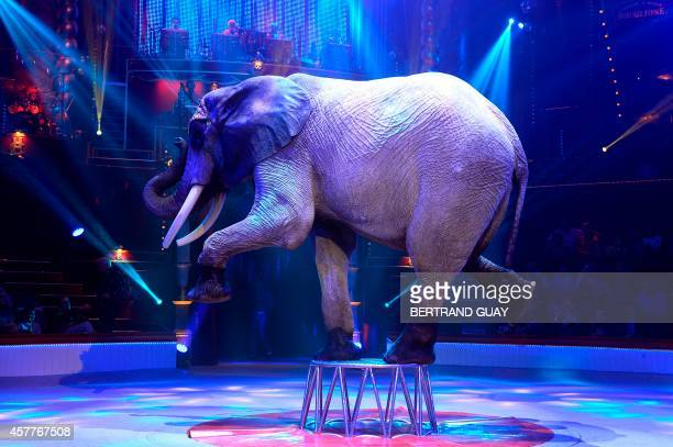 An elephant of the Cassely's family performs during 'Geant' a show by the Bouglione circus at the Cirque d'Hiver in Paris on October 23 2014 AFP...