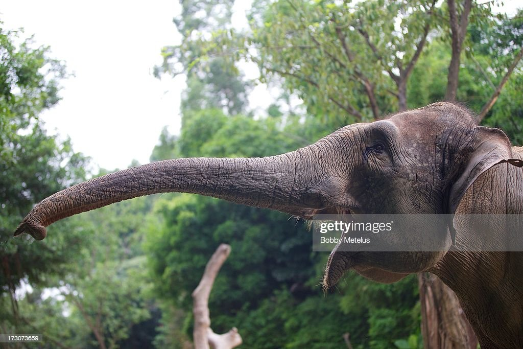 An elephant pictured at Chimelong Safari Park on July 6, 2013 in Guangzhou, China.