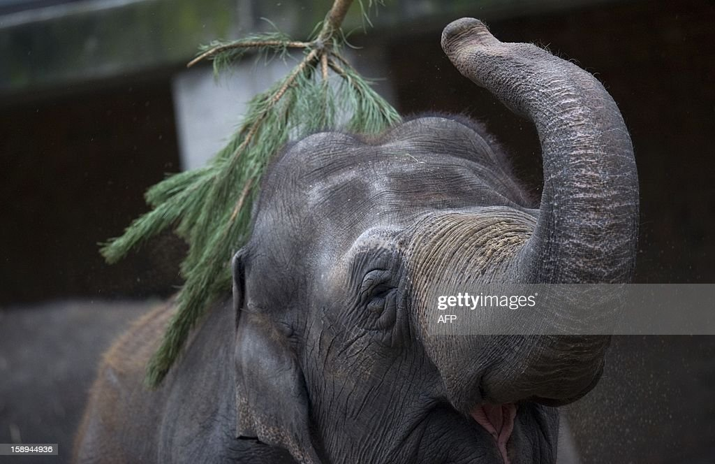 An elephant plays with a Christmas tree on January 4, 2013 at the Zoologischer Garten zoo in Berlin. Traditionally, elephants at the Berlin zoo are given the trees that were left over from Christmas tree sale during the first days of January. AFP PHOTO / BARBARA SAX