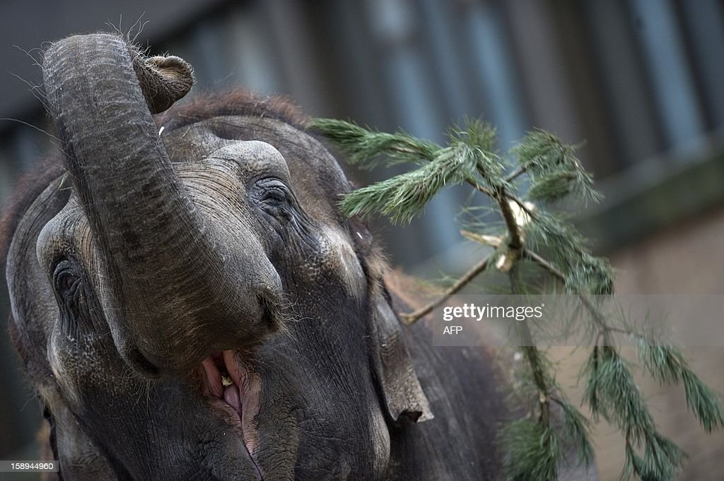 An elephant plays with a Christmas tree on January 4, 2013 at the Zoologischer Garten zoo in Berlin. Traditionally, elephants at the Berlin zoo are given the trees that were left over from Christmas tree sale during the first days of January.