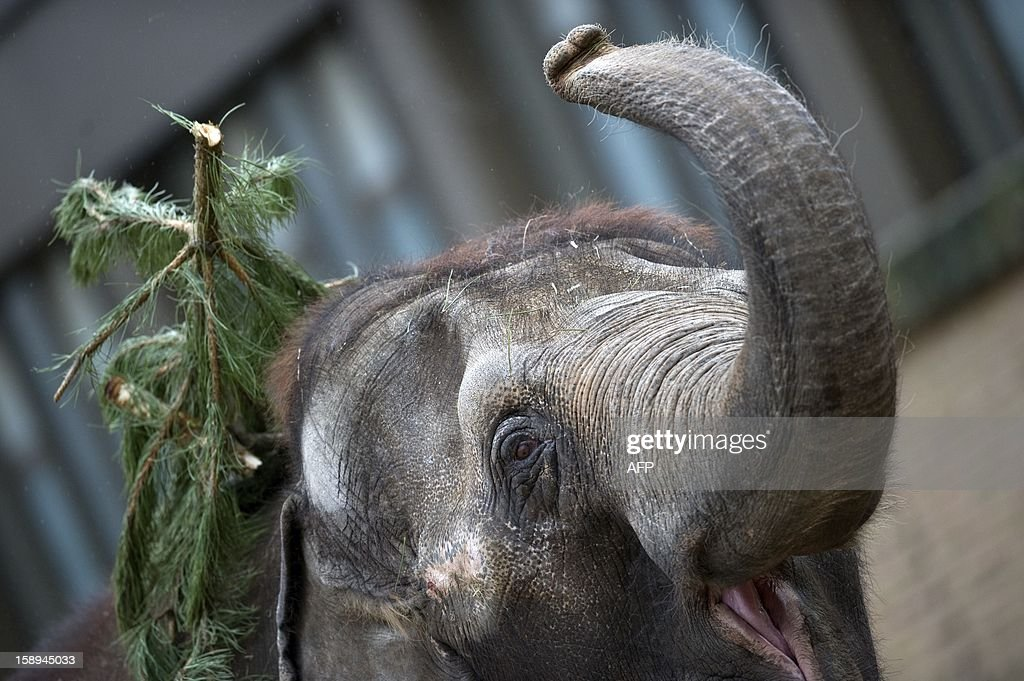 An elephant plays with a Christmas tree on January 4, 2013 at the Zoologischer Garten zoo in Berlin. Traditionally, elephants at the Berlin zoo are given for food the trees that were left over from Christmas tree sale during the first days of January.