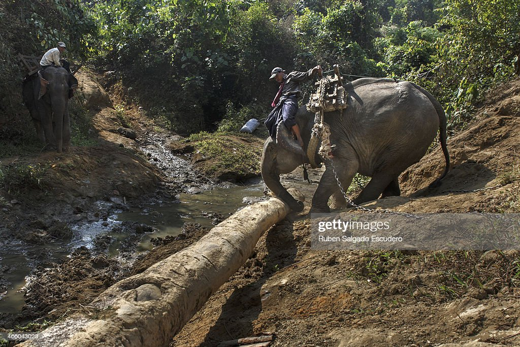 An elephant pushes a heavy log down a hill using his trunk on January 28, 2014 in Maing Hint Sal elephant logging camp, Myanmar.This government-owned camp holding 62 elephants and about 330 local villagers is one of many which are under threat due to upcoming changes in laws that reflect the steady depletion of forests in the country. The local government blames illegal loggers for this, while others are under the opinion that the government carelessly sold land for construction and development purposes to the wrong people. Either way, elephant logging which has been a source of income for many in this country for generations could have its days numbered which would affect many local people's livelihoods.