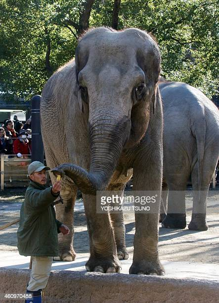 An elephant receives a banana from a zookeeper for otoshidama or New Year's gift at the Ueno zoological garden in Tokyo on January 2 2015 The zoo...