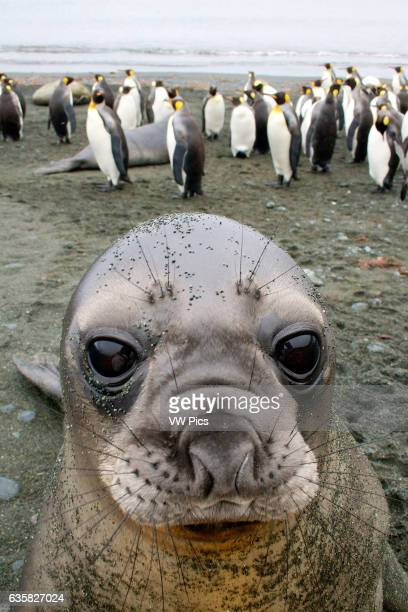 An Elephant Seal Pup stares into my camera on Sandy Bay Macquarie Island Antarctica
