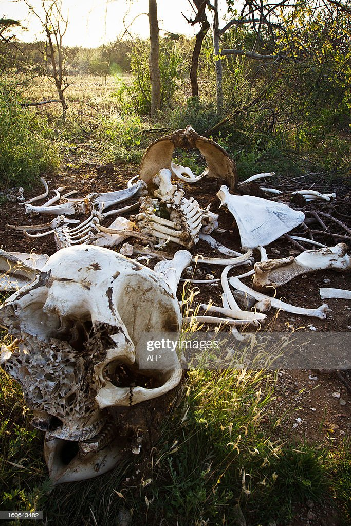 An elephant skeleton minus its tusks is pictured in Kora National Park on January 29, 2013. Wildlife protection groups have expressed concern that the amount of elephant poaching in the African continent is now at its highest for 20 years with an estimated 25,000 elephants killed in 2011. Kenya's worst incident of ivory poaching in recent history took place on January 5, 2013 when an entire family of 11 elephants were killed by poachers in Tsavo National Park, which is home to some 13,000 elephants. Increasing prosperity in China, and a large influx of Chinese workers and investors throughout Africa, has sent demand for African ivory soaring.