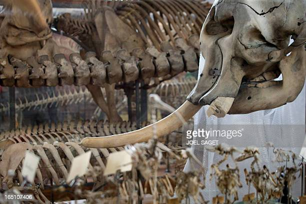 An elephant skeleton with one of its tusks chopped off by a thief is pictured at the Natural History museum in Paris on March 30 2013 A young man was...