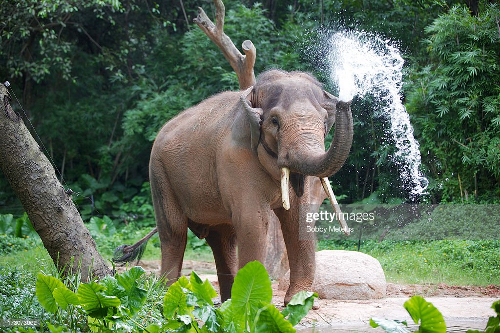 An elephant sprays water at Chimelong Safari Park on July 6, 2013 in Guangzhou, China.