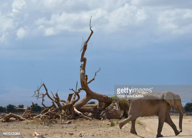 An elephant walks across a road at the Amboseli national reserve November 13 2015 at the foot of Mt Kilimanjaro The first delegation of the...