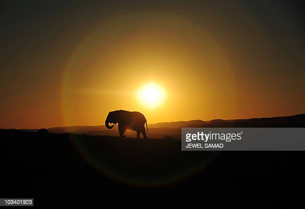 An elephant walks along at sunset in Addo Elephant Game Reserve near Port Elizabeth in South Africa on July 1 2010 AFP PHOTO/Jewel SAMAD