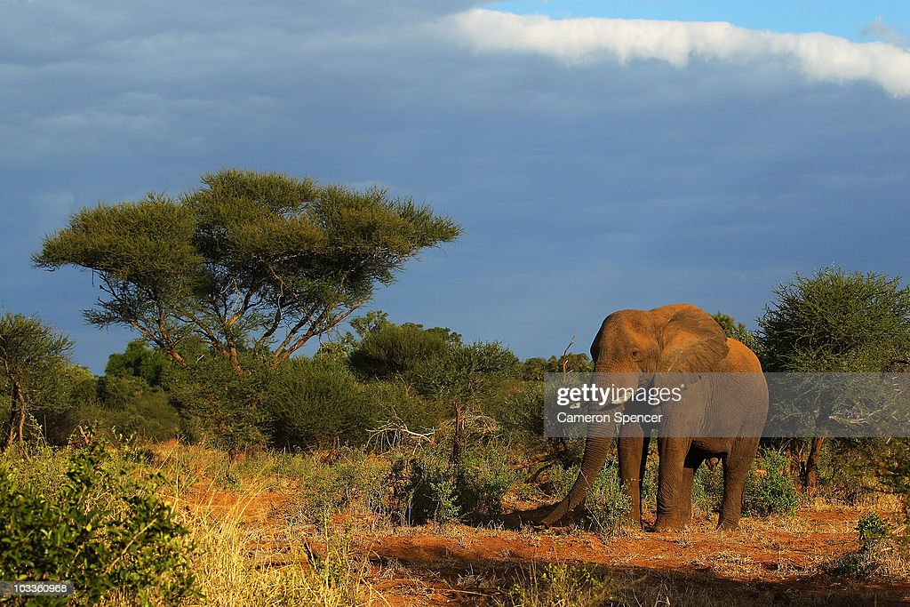 An elephant walks at the Pafuri game reserve on July 21 2010 in Kruger National Park South Africa Kruger National Park is one of the largest game...