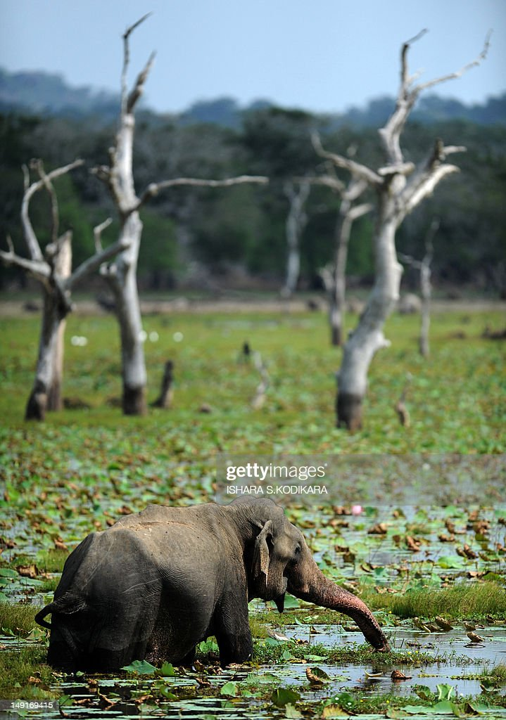 An elephant walks in a lake at Yala National Park in the southern district of Yala around 250 kms southwest of Colombo on July 24 2012 Yala National...