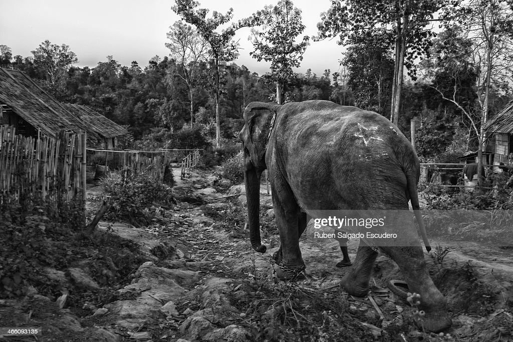 An elephant walks into the forest after a day of logging on January 28, 2014 in Maing Hint Sal elephant logging camp, Myanmar. This government-owned camp holding 62 elephants and about 330 local villagers is one of many which are under threat due to upcoming changes in laws that reflect the steady depletion of forests in the country. The local government blames illegal loggers for this, while others are under the opinion that the government carelessly sold land for construction and development purposes to the wrong people. Either way, elephant logging which has been a source of income for many in this country for generations could have its days numbered which would affect many local people's livelihoods.