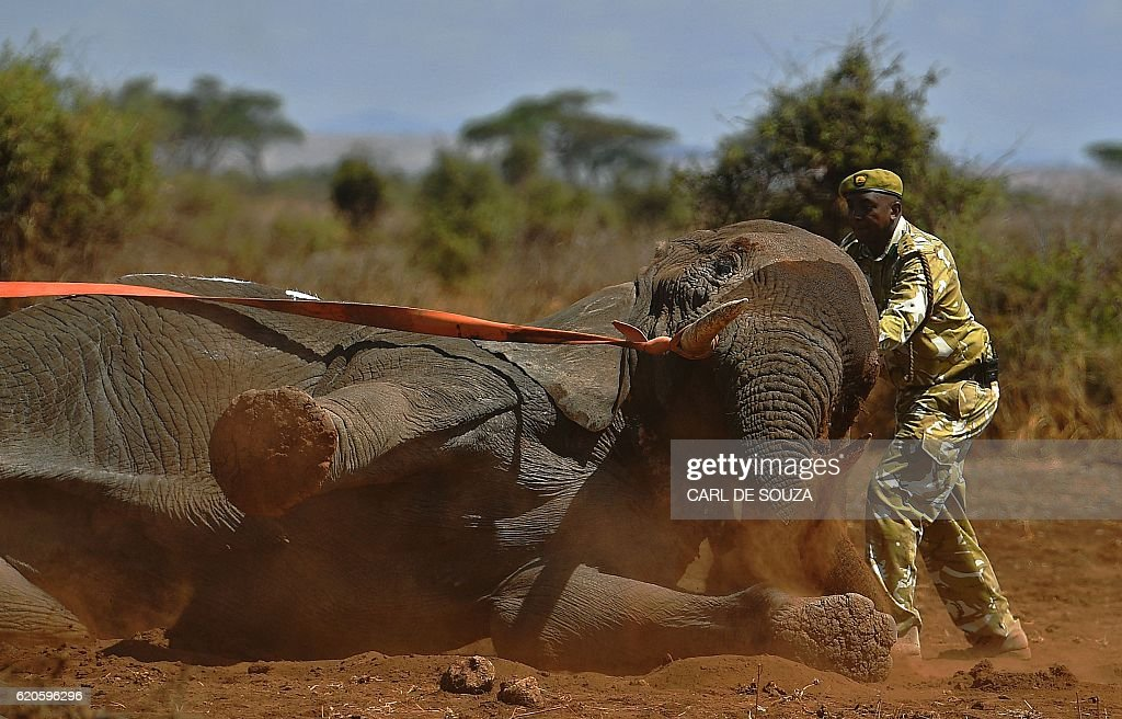 An elephant wearing a fitted electronic collar begins to wake up as its tranquilizer is reversed by vets at the Amboseli National Park on November 2, 2016. The International Fund for Animal Welfare (IFAW) is collaring two young male elephants from the Amboseli region to better understand their migration routes. As Kenya's population increases dramatically every year more land traditionally used by elephants as routes is being populated and developed and elephants have been impacted. IFAW intends to study data from the collared elephants movements to plot how this impact affects them. / AFP / CARL