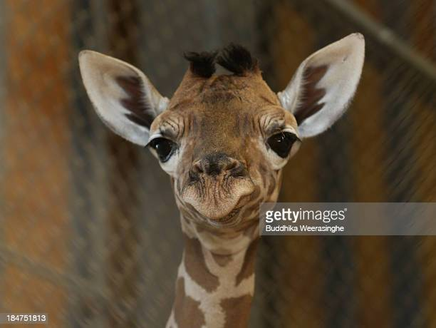 An eleven day old newborn giraffe calf looks in his enclosure at Himeji Central Park on October 16 2013 in Himeji Japan The baby giraffe was born on...