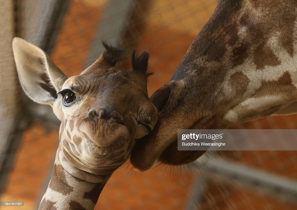 An eleven day old newborn giraffe calf stands beside his mother named Mimi in their enclosure at Himeji Central Park on October 16, 2013 in Himeji, Japan. The baby giraffe was born on October 5, 2013 and stands over 170 cm tall.