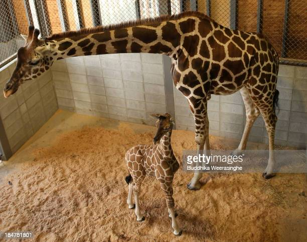 An eleven day old newborn giraffe calf stands beside his mother named Mimi in their enclosure at Himeji Central Park on October 16 2013 in Himeji...