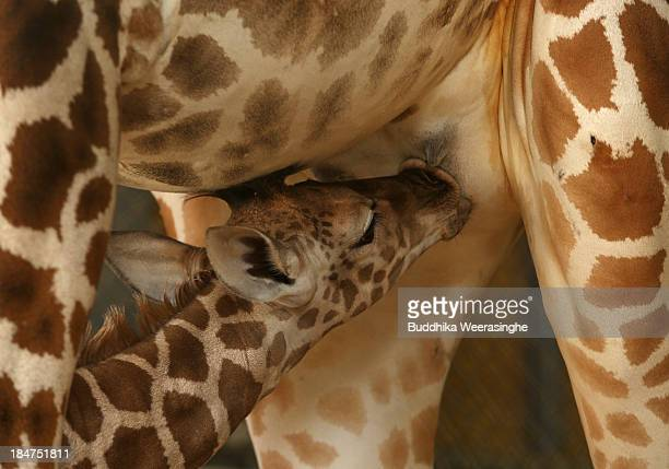 An eleven day old newborn giraffe calf suckles his mother named Mimi in their enclosure at Himeji Central Park on October 16 2013 in Himeji Japan The...