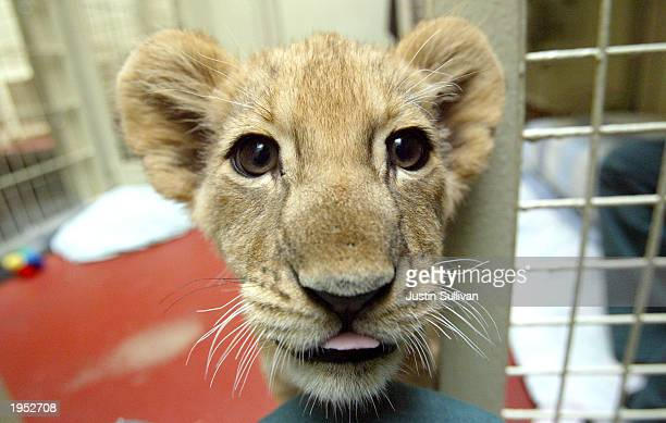 An elevenweekold unnamed female lion cub stands in the Lion House at the San Francisco Zoo April 25 2003 in San Francisco California The cub's mother...